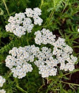 ljekovito bilje stolisnik, bijeli cvjetovi stolisnika